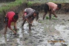 Le piccole mondine che trapiantano il riso nelle risaie